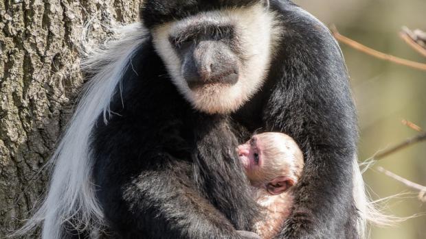 Dnes ráno se oblíbené gueréze pláštíkové, zasloužilé matce Lucii, narodilo v pořadí již deváté mládě. Foto: Petr Hamerník, Zoo Praha