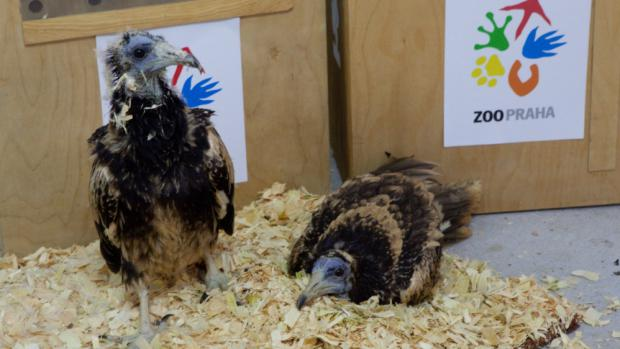 Prague Zoo employees first drove the two female vultures to the breeding and rescue station in Stara Zagora. There the vultures raised in Prague spent their last night in captivity with a veterinary examination in the morning. On the left, the chick hatched at Prague Zoo, on the right, the female hatched at Zlín Zoo. Photo: Lenka Pastorčáková, Prague Zoo