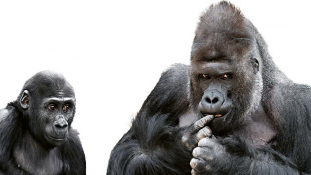 Richard and Nuru – Western Lowland Gorillas. Source: Archives Prague Zoo