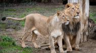 Jamvan and Ginni - purebred Asiatic Lions in their enclosure in Prague Zoo. Together with another female, Suchi, they came to Prague from the Indian state of Gujarat in the autumn of 2015. After a hiatus of two decades, they were the first lions of this subspecies to have been brought directly from their homeland to Europe. Photo: Petr Hamerník, Prague Zoo