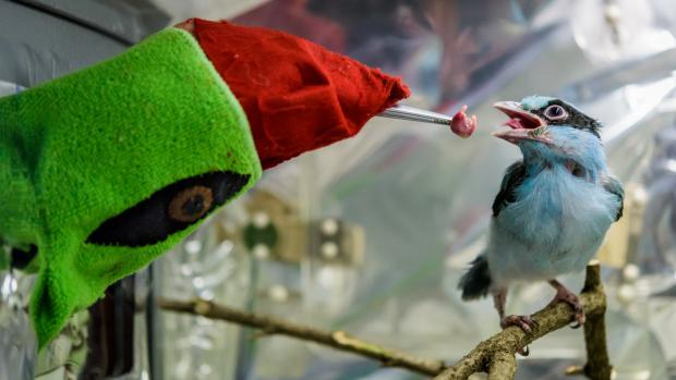 "Prague Zoo now rears one of the rare Javan Green Magpie young with the help of a ""puppet"". Photo: Petr Hamerník, Prague Zoo"