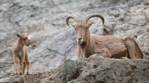 Mountain Ungulates, photo: Tomáš Adamec, Prague Zoo