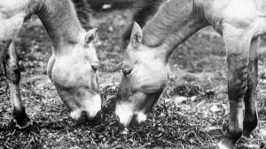 Ali and Minka became the basis of the breeding programme at Prague Zoo in 1932. Photo: Prague Zoo Archive