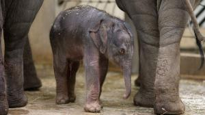 A baby Asian elephant was born in Prague Zoo. Photo: Petr Hamerník, Prague Zoo