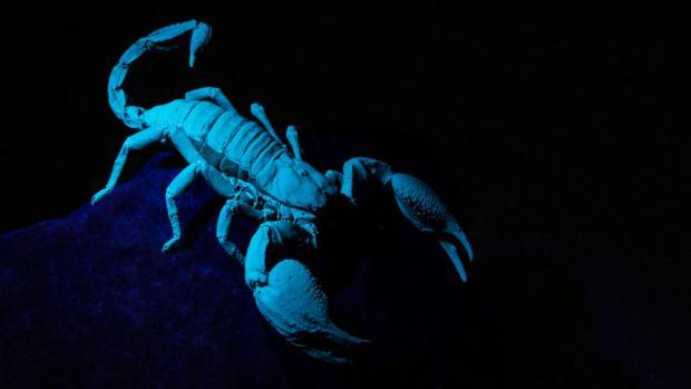 """Veleštír Petersův je dlouhý až 15 cm a stejně jako jiní štíři v ultrafialovém světle """"svítí"""". Foto: Vít Lukáš, Zoo Praha"""