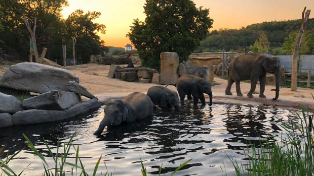 That is how the first late evening, that elephant calves Max and Rudi spent in the outdoor paddock along with their mothers Janita and Tamara, was looking. Photo: Miroslav Bobek, Prague Zoo.