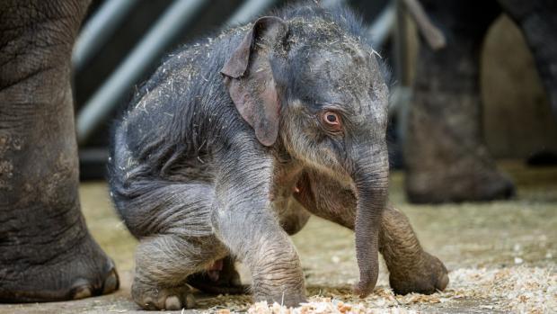 Sloní samička v pražské zoo (Autor: Petr Hamerník, Zoo Praha)