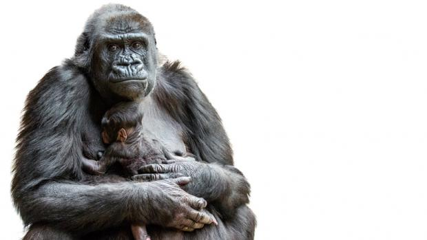 Shinda's baby - Western Lowland Gorilla. Source: Archives Prague Zoo