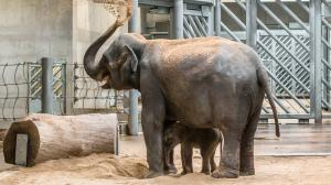 Tamara gave birth to her first baby elephant. Photo: Petr Hamerník, Zoo Praha