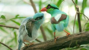 Success for Prague Zoo – rearing Javan green magpies using an adoption by parents method. Photo: Petr Hamerník, Prague Zoo