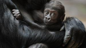 So far, Nuru is the latest addition to the Prague's gorilla group. Photo: Tomáš Adamec, Zoo Praha