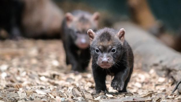 V Zoo Praha jsou k vidění další mimořádná mláďata. Štěňata psů pralesních se narodila 7. dubna. Foto: Petr Hamerník, Zoo Praha