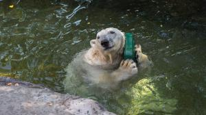 Tom's joy could not be ignored as he literally cuddled the new toy. Photo: Václav Šilha, Prague Zoo