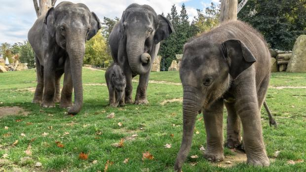 Two elephant males were born in Prague Zoo during 2016. The first one called Max was born on April 5th (on the right) and half a year later, Rudolf was born on October 7th. Photo: Petr Hamerník, Prague Zoo
