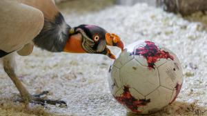 A king vulture with a ball. Photo: Petr Hamerník, Prague Zoo