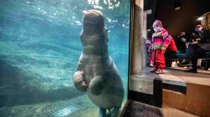 Visitors to Prague Zoo can now see the new male hippopotamus every day in the reconstructed Hippo House. The new filtration unit now allows you to watch the hippos as they move underwater. Author: Khalil Baalbaki, Prague Zoo