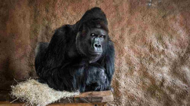 One of the most successful videos is that of the gorilla family, especially Richard. Photo: Miroslav Bobek, Prague Zoo