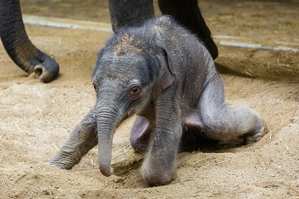 """Made in Prague"": three-day-old elephant Max. Photo: Miroslav Bobek, Prague Zoo"