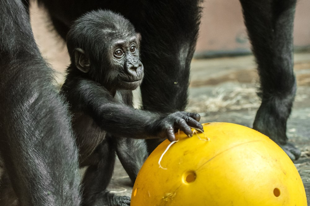 A little male gorilla, Ajabu, was unexpectedly born to twenty-four-year-old Shinda. Photo: Petr Hamerník, Prague Zoo