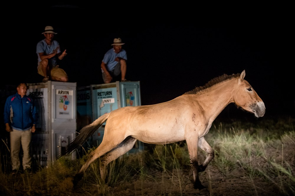 Night releasing of Przewalski horses to an acclimatization paddock in Gobi. Photo: Václav Šilha, Prague Zoo