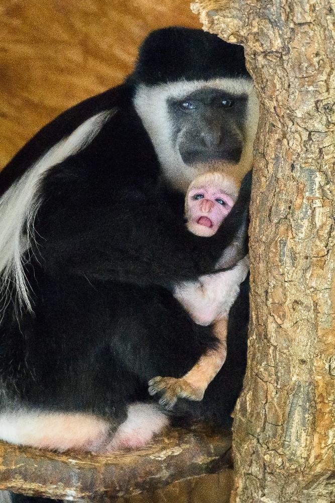 Návštěvníci se na něj mohou přijít podívat do dolní části zoo, kde guerézy obývají jeden z Opičích ostrovů. Foto: Petr Hamerník, Zoo Praha