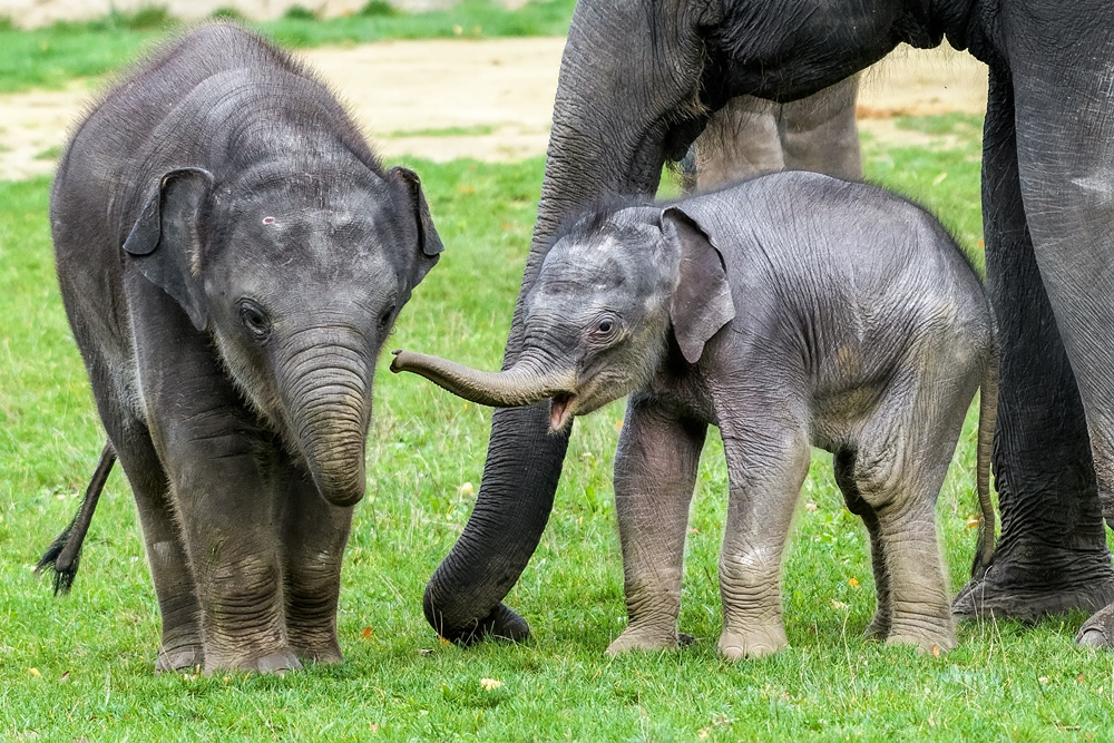 Three-week-old elephant male, Rudolf, together with older elephant baby, Max. Photo Petr Hamerník, Prague Zoo