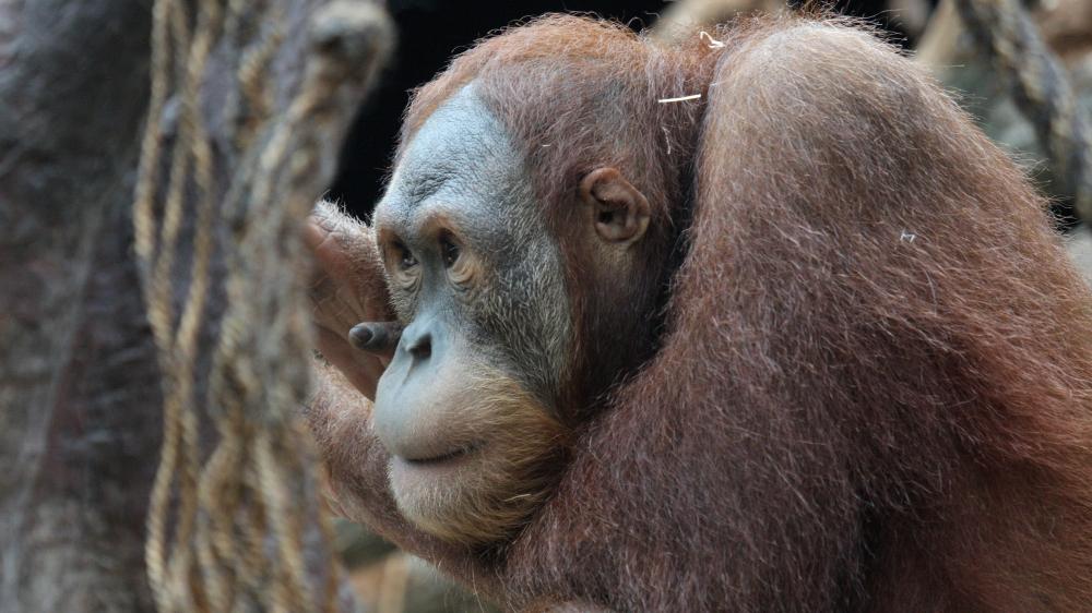 Mezinárodní den orangutanů 4ecf2dd6d4b
