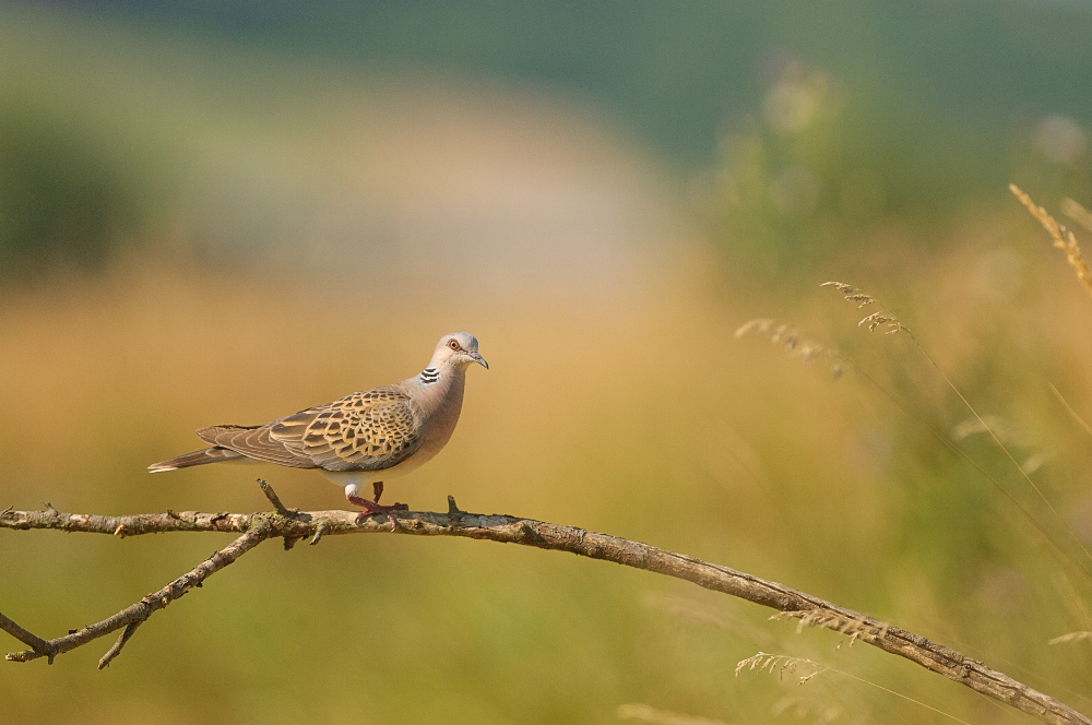 European Turtle Dove. Photo: Jiří Hornek