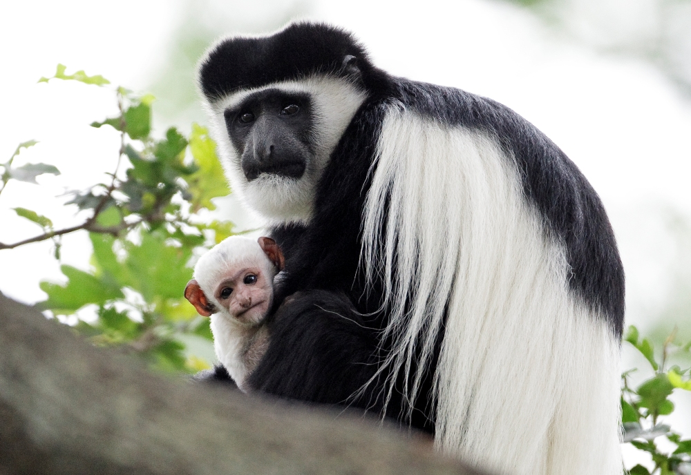 Lucie the Eastern Black-and-White Colobus Monkey