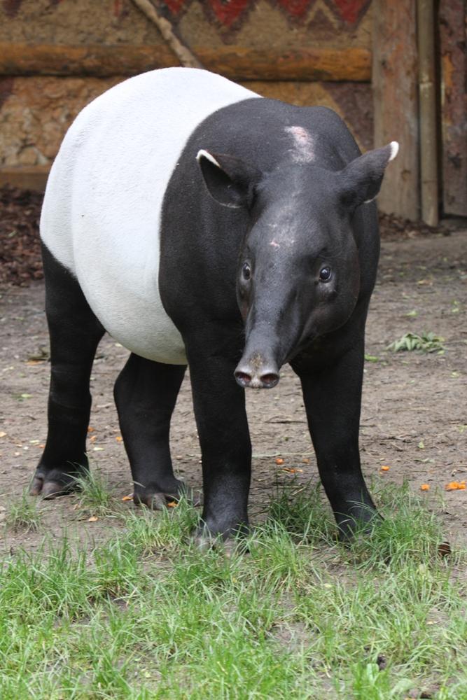 Indah the Malayan Tapir
