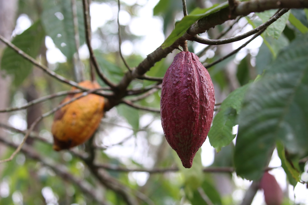 A model agro-forestry project was also established in Kabilon a few years ago. On the edge of the forest, cocoa trees (pictured) are scattered among more than ten other tree species, starting with avocados, moving on to oranges and the rare moabi trees, which provide an especially prized oil. Pineapples ripen in the undergrowth whilst the leaves of the new cocoyam, a local vegetable, spread out. This kind of garden enriches the local farmers' diets whilst giving them the opportunity to earn some extra money.