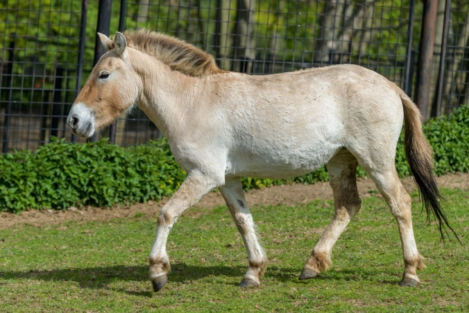 Tárik was born on 6. 11. 2015 in Prague; she is the 227th foal to be born in Prague Zoo. Her parents are the stallion Len and the mare Hara, both of whom can be seen in the run at Prague Zoo. Photo: Petr Hamerník, Prague Zoo