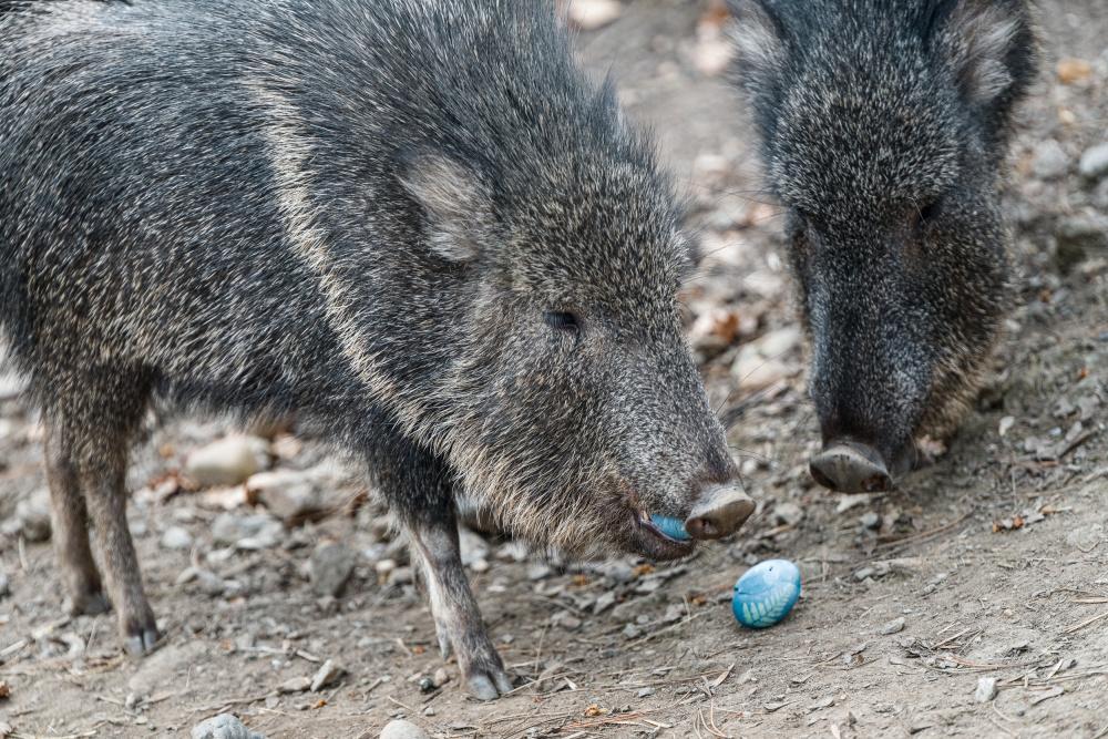Pekariové Wagnerovi si pochutnali na vařených vejcích, kterým modrou barvu dodalo červené zelí. Foto: Petr Hamerník, Zoo Praha