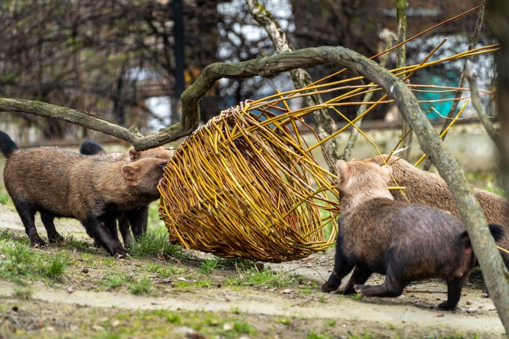 Akční psi pralesní se přetahovali o veliké vejce z vrbových proutků. Foto: Oliver Le Que, Zoo Praha