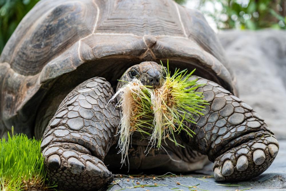 Velké želvy si užily zdravé jarní osení. Foto: Oliver Le Que, Zoo Praha
