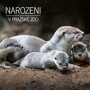 Narozeni v Zoo Praha - vydry hladkosrsté