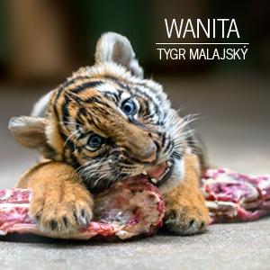 Mláďata tygra malajského (Wanita)