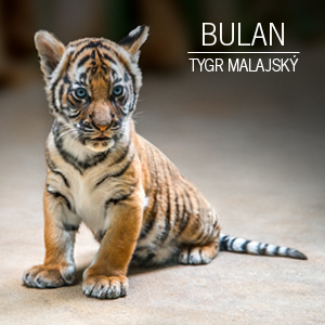 Mláďata tygra malajského (Bulan)