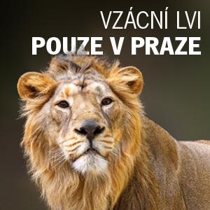 Vzácní lvi pouze v Praze