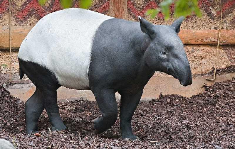 Mezinárodní den tapírů v Zoo Praha 8c6eafc3d39