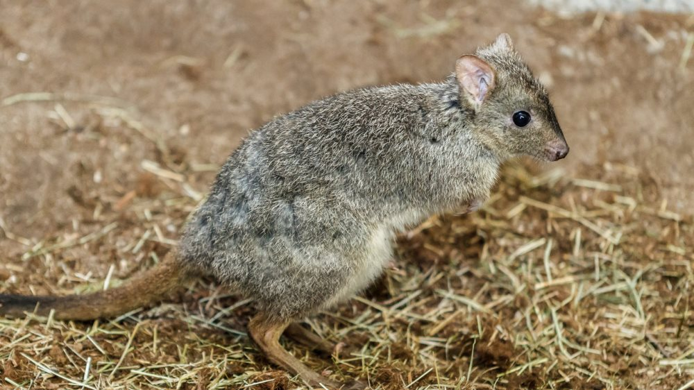 Výsledek obrázku pro klokánek králikovitý zoo praha