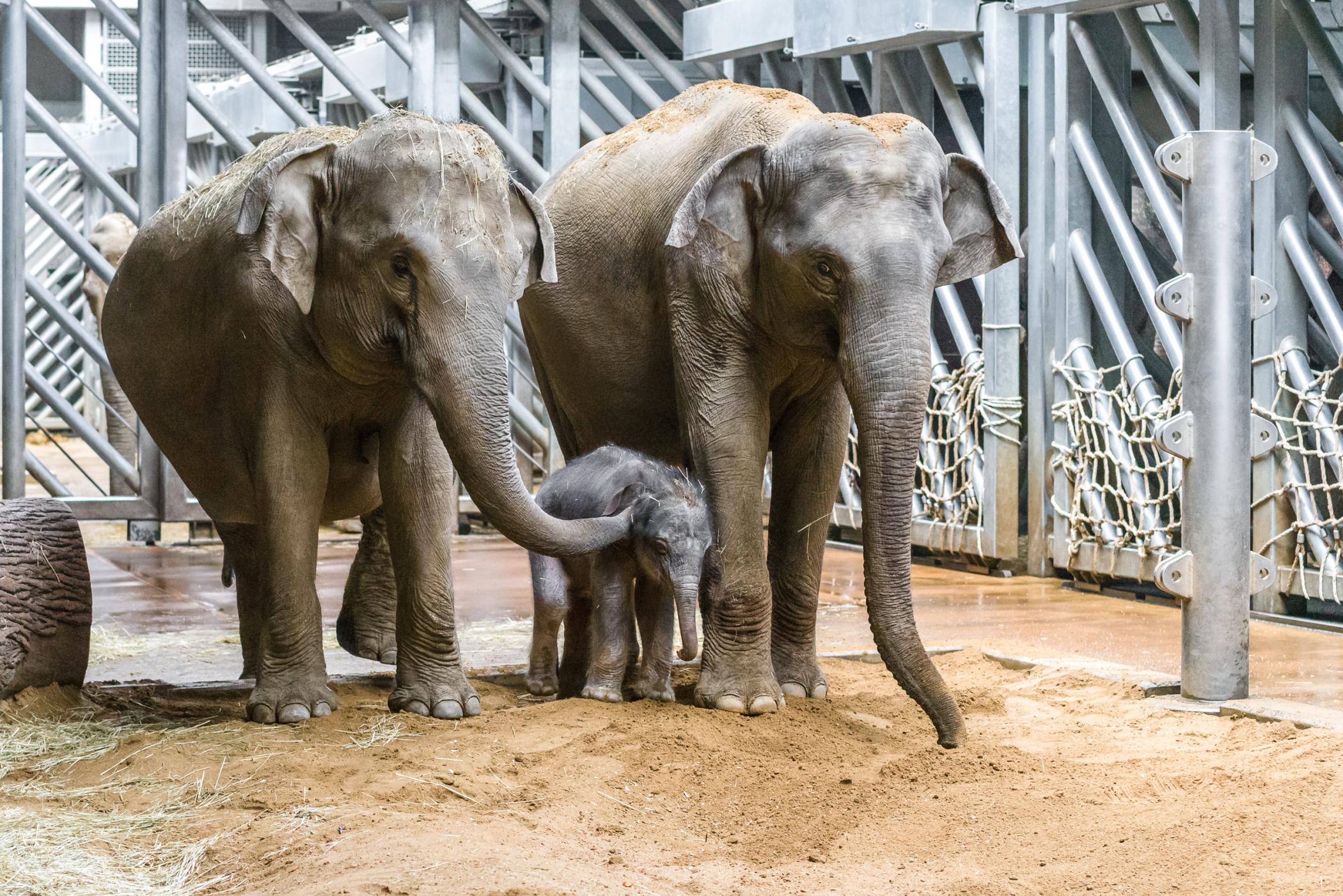 Slavné slůně v pražské zoo se už seznámilo s tetou