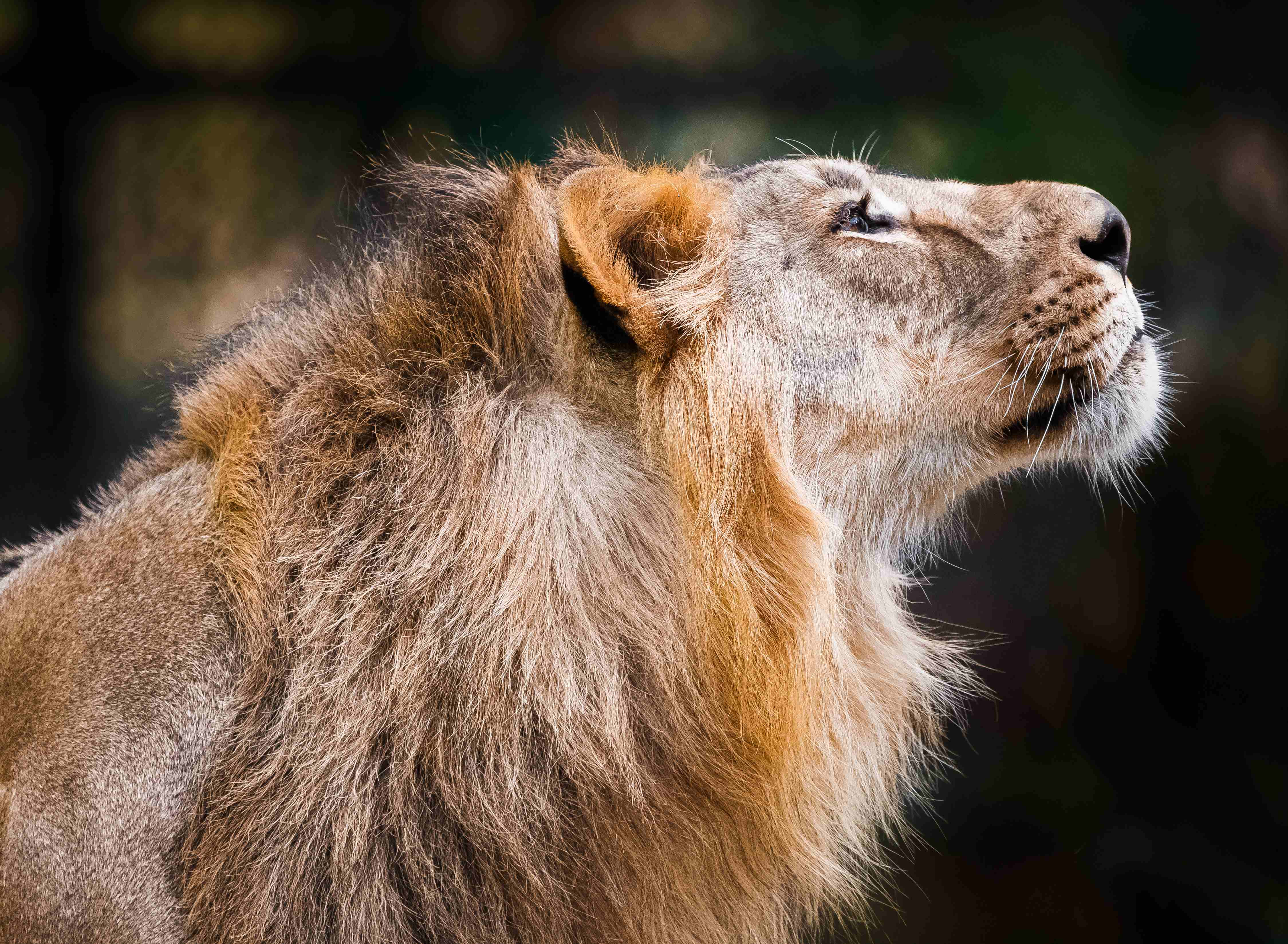 rare lions from india only in prague zoo