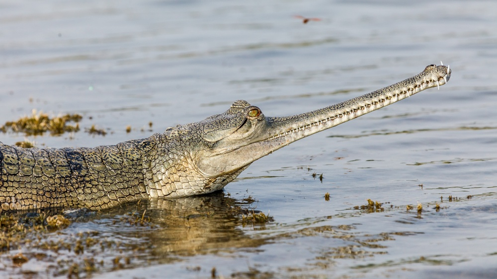 Saving the Gharial in India